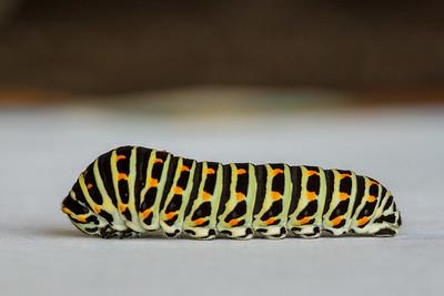 Macaon-Caterpillar-26