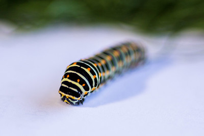 Macaon-Caterpillar-15
