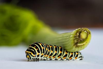 Macaon-Caterpillar-33