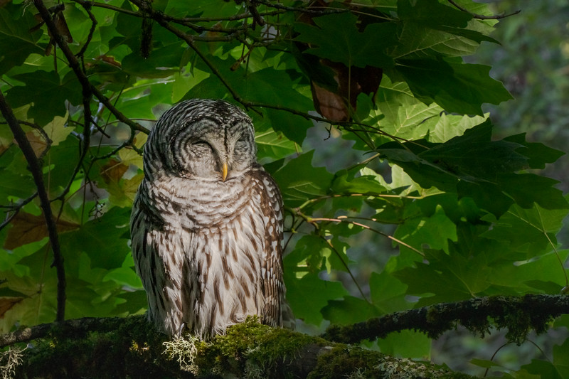 Barred Owl at Rest
