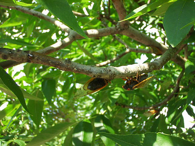 Close up of some members of the 17 year cicada brood.