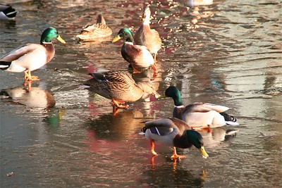 Ducks keeping warm in the icy pond.