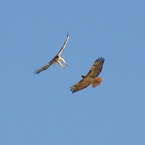 Two hawks, aerial courtship.