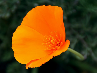 California poppy at the Nix Center, Laguna Canyon.