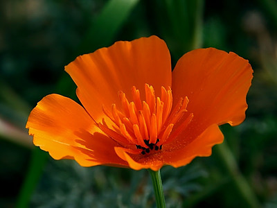California poppy!