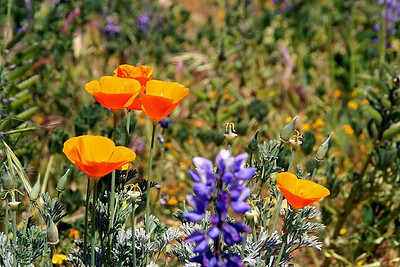 Springtime.  California poppies and lupine.