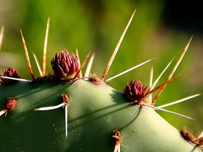 Get the point?  Nix Center beavertail cactus.