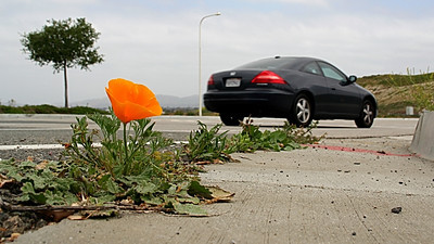 """""""Stubborn""""!  This is on the north end of Laguna Canyon (133) just before it becomes freeway."""