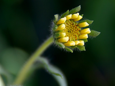 Interesting shape as the flower begins to grow - almost like little bulding blocks.