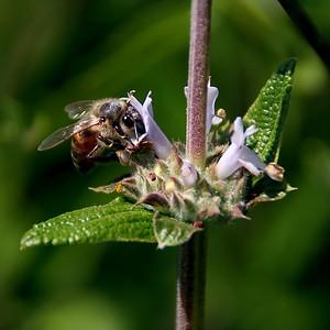 Bee on black sage.  Nix Nature Center.