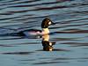 Male Goldeneye Duck.