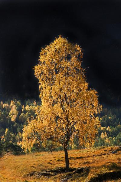 Autumn Birch.