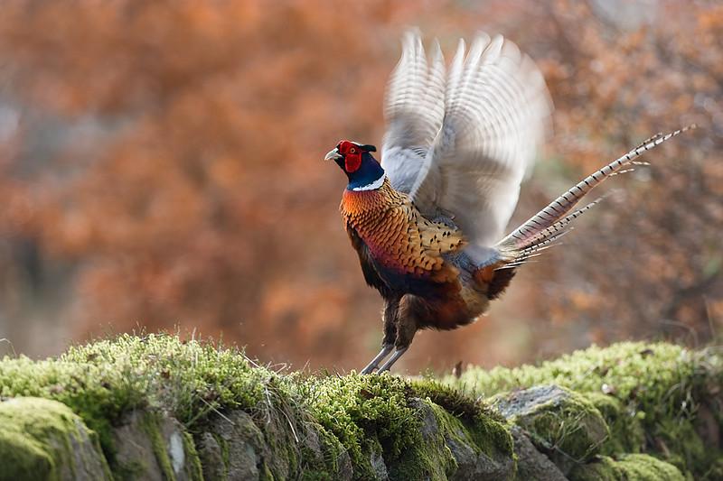 Male Pheasant Displaying. John Chapman.