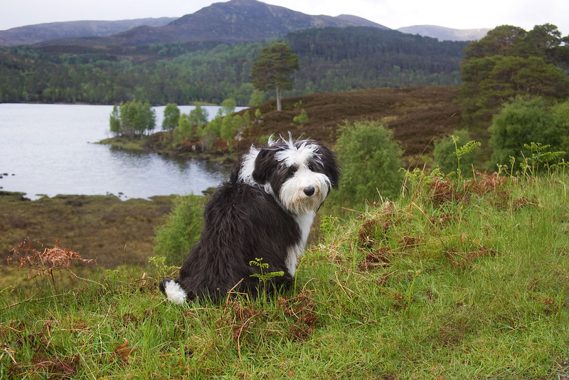 Buddy my companion in Glen Affric.