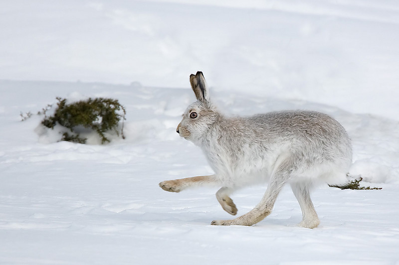 Moutain Hare running.