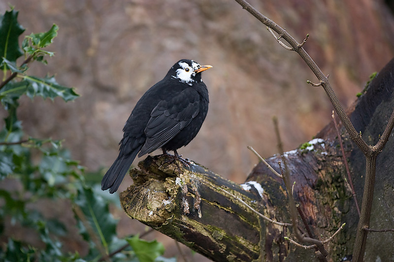 Leucistic Blackbird.