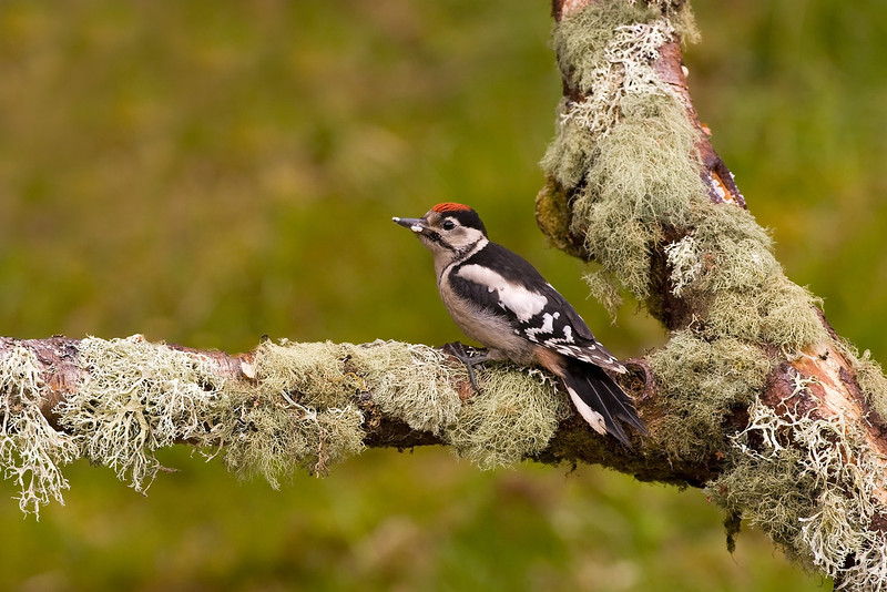 Juv. male Great spotted Woodpecker.