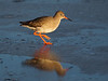 Redshank on Ice.