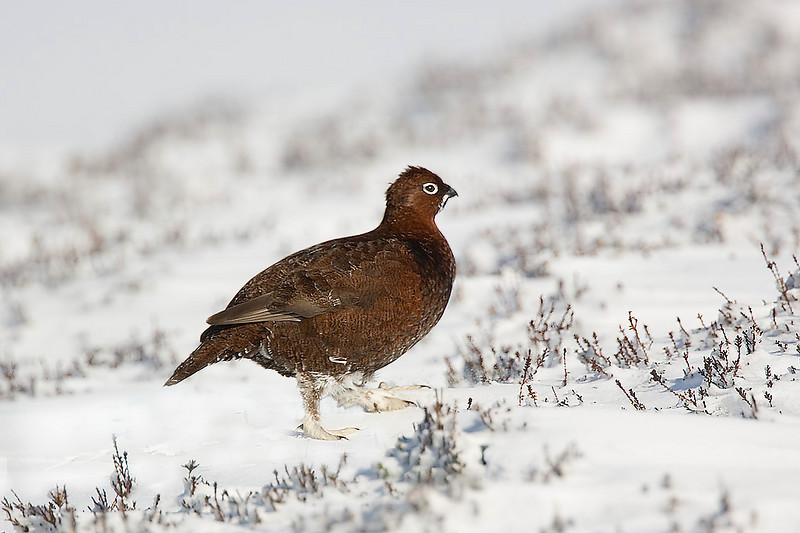 Red Grouse.