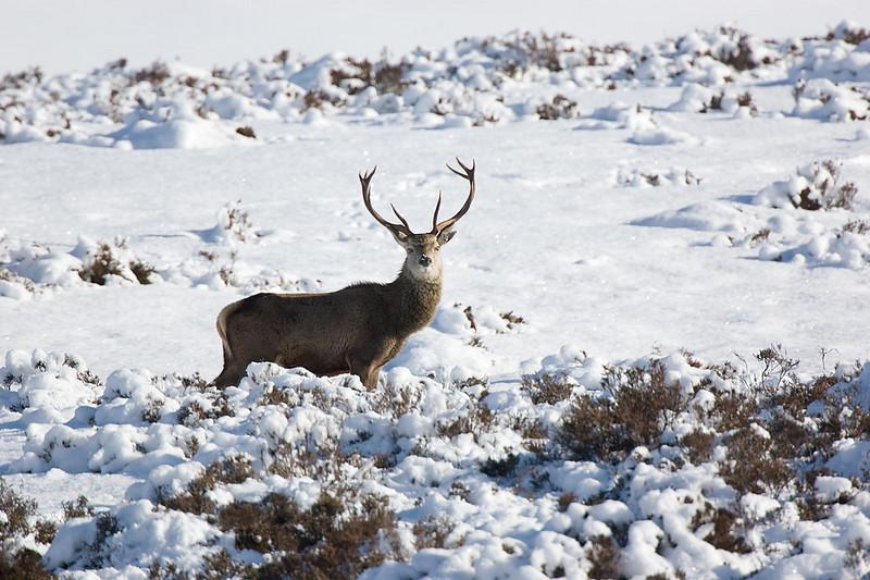 Red Deer Stag. John Chapman.