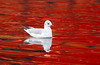 Adult. Black Headed Gull in winter plumage.