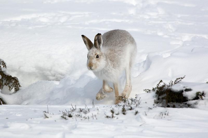 Mountain Hare coming to meet me.