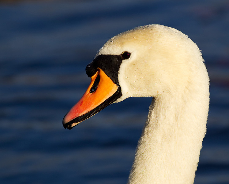 Head and Portrait of a Mute Swan. John Chapman.