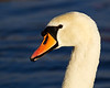 Head and Portrait of a Mute Swan. John Chapman.