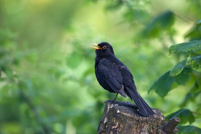 Male Blackbird Singing.