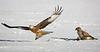 Red Kite & Buzzard.