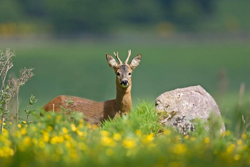 Roe Deer Stag.