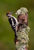 Juv. male. Great Spotted Woodpecker.