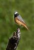 Male Redstart.