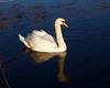 Male Mute Swan.