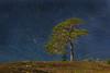 Old Scot's Pine.
