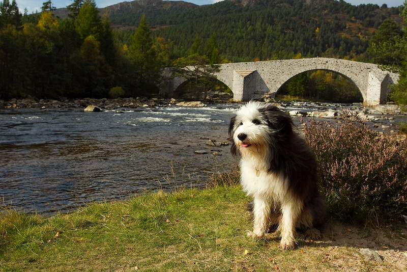 Buddy at the Old Invercauld Bridge which has recently been renovated.