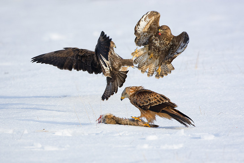 2 Buzzards fighting and a red kite in front.