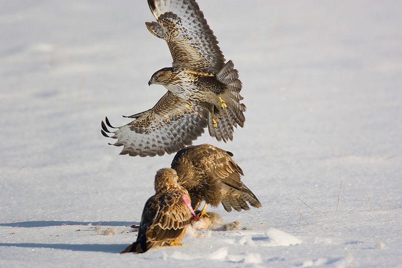 2 Buzzards and 1 Red Kite with wing tag.