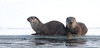 Otters. John Chapman.
