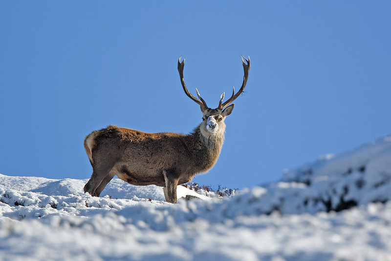 Royal Stag with snow on it's nose. Aberdeenshire.