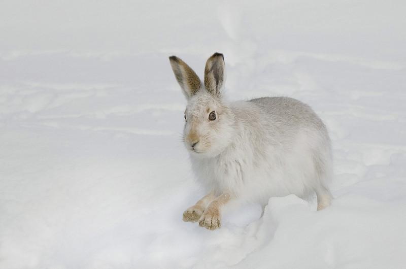 Mountain Hare. John Chapman.