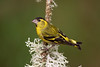 Adult Male Siskin.