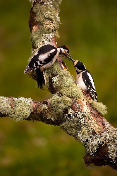 Juv. being fed by mum. Great Spotted Woodpecker.