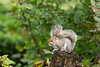 Grey Squirrel. Picture in the Local Newspaper. John Chapman.
