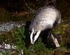Wild Badger.
