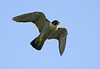 Peregrine Falcon. back lit.