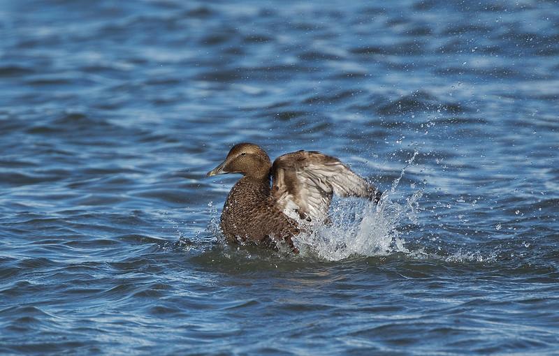 Female Eider Duck.