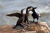 Cormorant Feeding Chicks. Published in The Breeding Birds of North East Scotland.