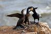 Cormorant Feeding Chicks. Published in The Breeding Birds of North East Scotland.