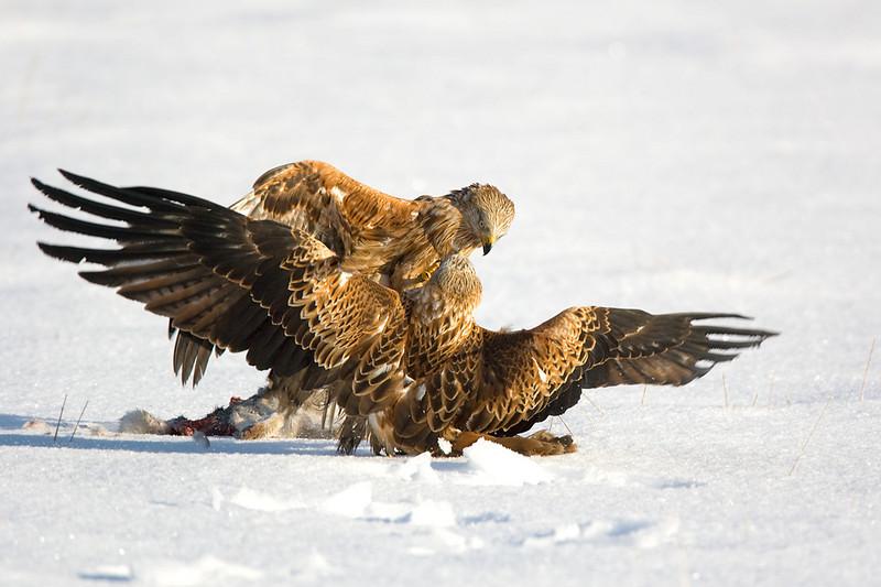 Red Kites Fighting. John Chapman.